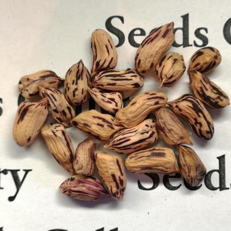 Tiger Peanut Seeds (Arachis Hypogaea) 1.95 - 3