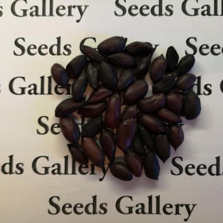 Schwarze Erdnuss Samen (Arachis hypogaea) 1.95 - 2