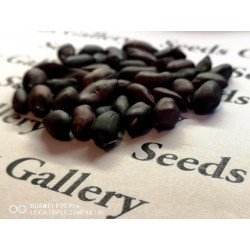 Schwarze Erdnuss Samen (Arachis hypogaea) 1.95 - 9
