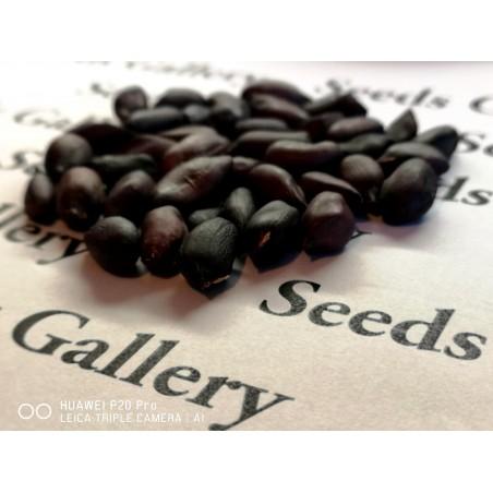 Black Peanut Seeds (Arachis hypogaea) 1.95 - 9