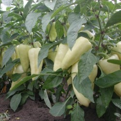 Big Hot White Pepper Seeds 1.95 - 2