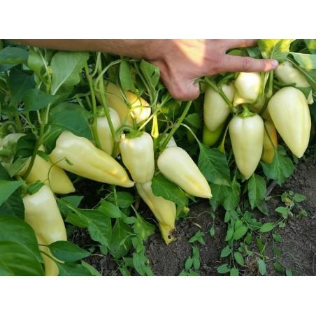 Big Hot White Pepper Seeds 1.95 - 4