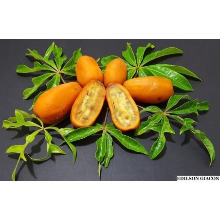 Wild Papaya Seeds (Jacaratia spinose) 3 - 4