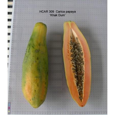 """KAK DUM"" Lång Papaya Dvärg Frön (Carica papaya) 3 - 3"