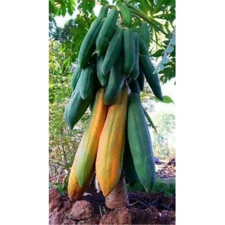 "Zwerg ""KAK DUM"" Lange Papaya Samen (Carica papaya) 3 - 4"
