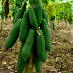 "Zwerg ""KAK DUM"" Lange Papaya Samen (Carica papaya) 3 - 2"