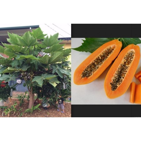 """KAK DUM"" Lång Papaya Dvärg Frön (Carica papaya) 3 - 5"