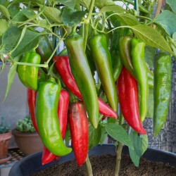 Hot Chili Pepper ANAHEIM seeds (Capsicum Annuum) 1.75 - 1