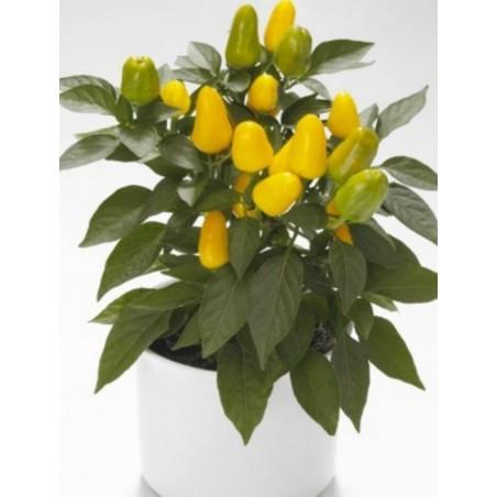 Crna Zimska Rotkva Seme - Raphanus sativus var.major