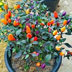 Bolivian Rainbow Chili Seeds 2.5 - 2