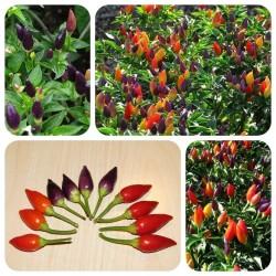 Numex Twilight Chilli Seeds 1.95 - 3