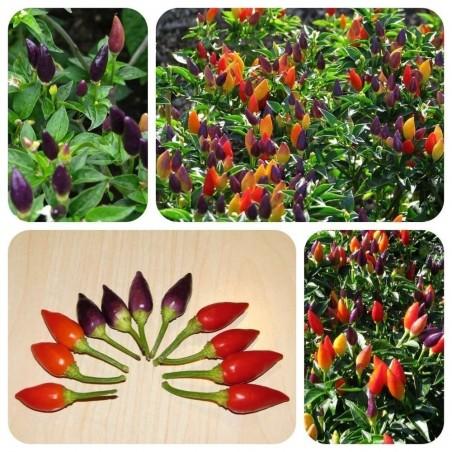 Lila Chili Samen Numex Twilight 1.95 - 3