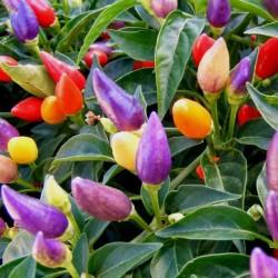 Numex Twilight Chilli Seeds 1.95 - 2