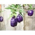 Australijska Ljubicasta Jabuka Seme (Billardiera longiflora)