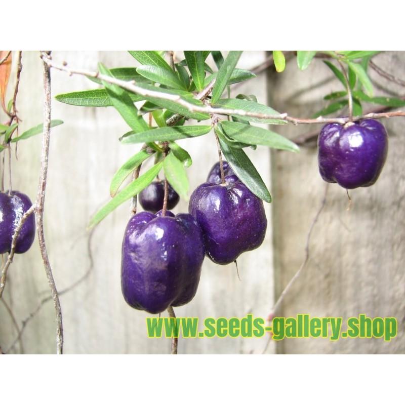 Frön Billardiera longiflora Lila äpple bär