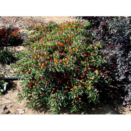 Sementes de pimentão Numex Twilight 1.95 - 5