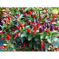 Numex Twilight Chilli Seeds 1.95 - 6