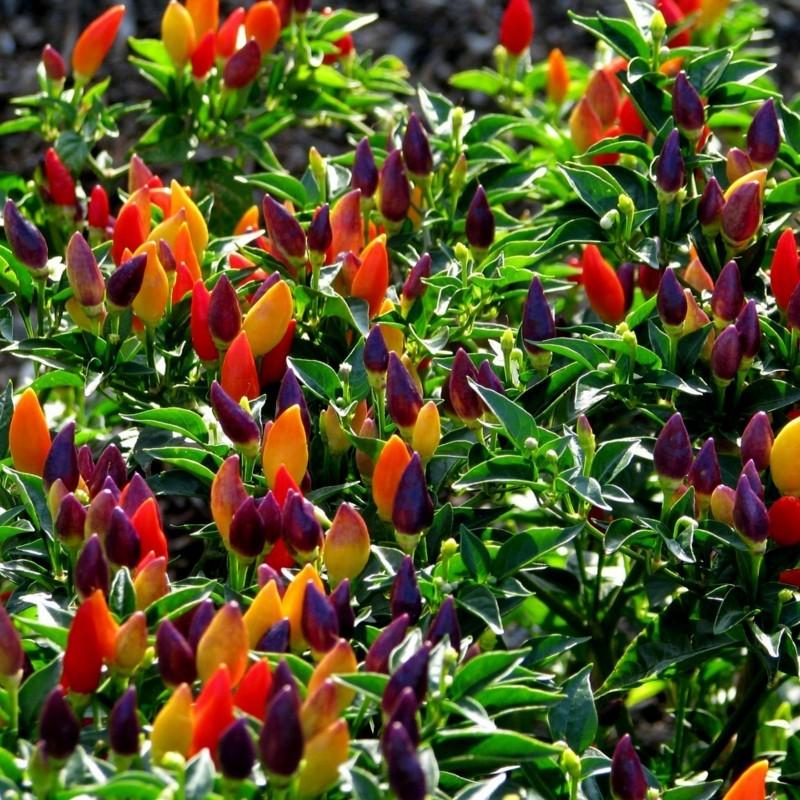 Numex Twilight Chilli Seeds 1.95 - 1