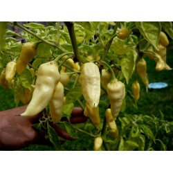 "Graines de Piments ""Fatalii White"" 2.5 - 4"