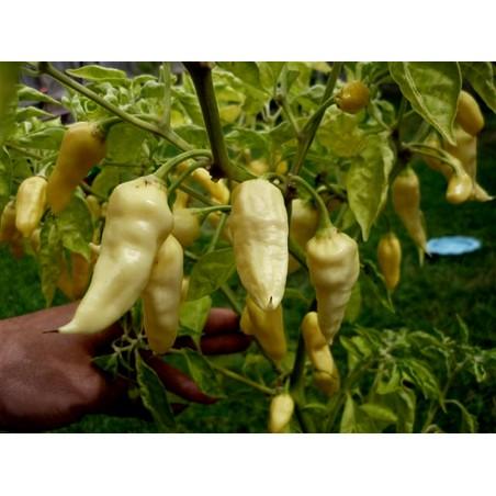 Zlatna bukovaca Micelijum (Seme) (Pleurotus citrinopileatus)