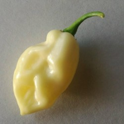 "Graines de Piments ""Fatalii White"" 2.5 - 5"