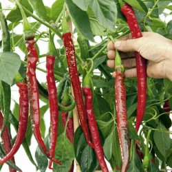 "Graines de Piment ""Joes Long"" 1.85 - 1"