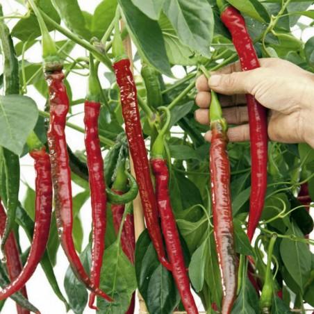 """Joes Long"" Chilli Pepper Seeds 1.85 - 1"