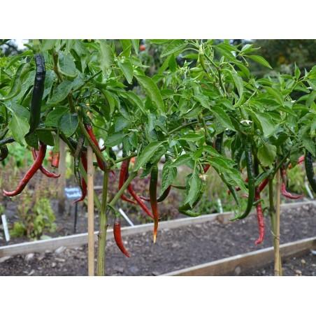 """Joes Long"" Chilli Pepper Seeds 1.85 - 3"
