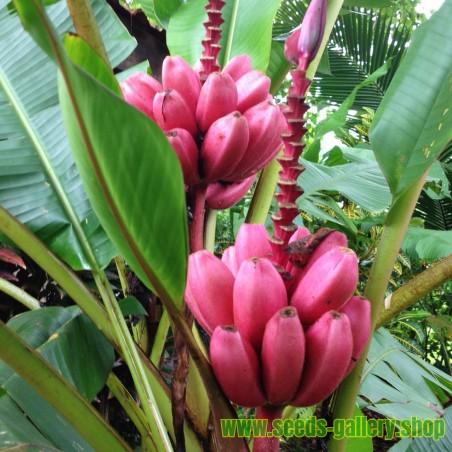 Σπόροι ροζ μπανάνα (Banana Musa Ornata)