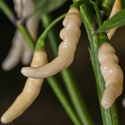 Aribibi Gusano Chili Frön