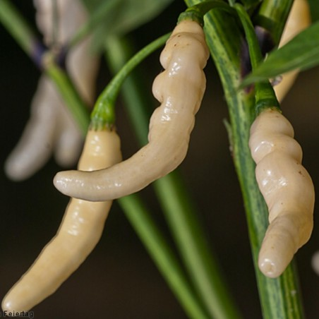 Graines de Piments Aribibi Gusano