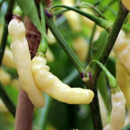 Aribibi Gusano Chili Seme 2.5 - 2