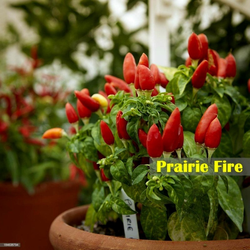 Graines de Piments Praire Fire 1.5 - 4
