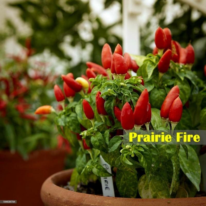 Prairie Fire Chilli Seeds 1.5 - 4