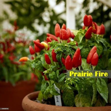 Sementes de Pimenta Praire Fire 1.5 - 4