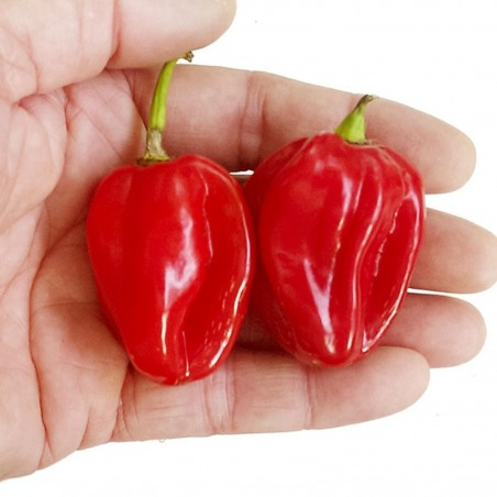 Scotch Bonnet Red Chili Samen 2 - 2