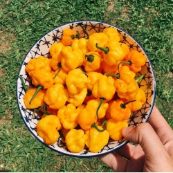 Scotch Bonnet Yellow Chili Seeds 2 - 2