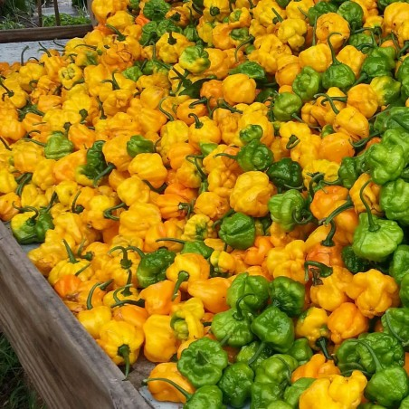 Scotch Bonnet Yellow Chili Seeds 2 - 3