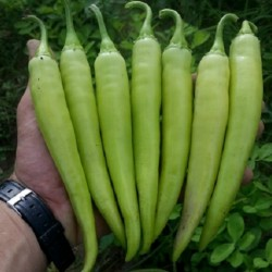 Hot Pepper Seeds NISKA SIPKA Serbian Variety 2.25 - 3