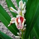 Karonda - Bengal Currant Fröer (Carissa carandas)