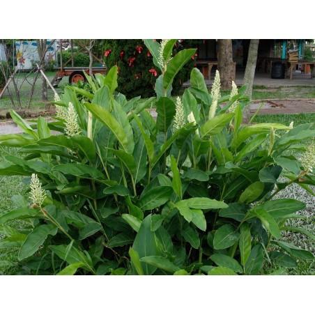 Thai-Ingwer, großer Galgant Samen (Alpinia galanga) 1.95 - 4