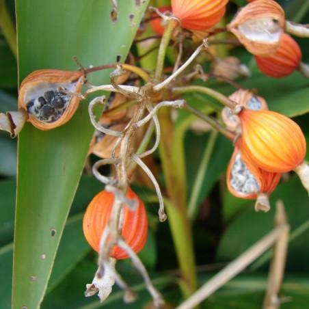 Thai-Ingwer, großer Galgant Samen (Alpinia galanga) 1.95 - 5