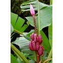 Semillas de Anacardo - Marañón - Castaña (Anacardium occidentale)