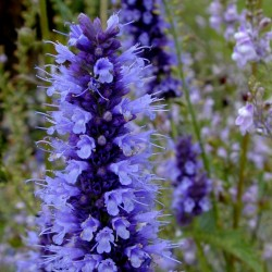 Korean mint Seeds, blue licorice (Agastache rugosa) 1.85 - 3