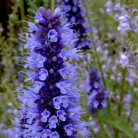 """Plumeria Seeds """"THREE KINGS"""" Flowers"""