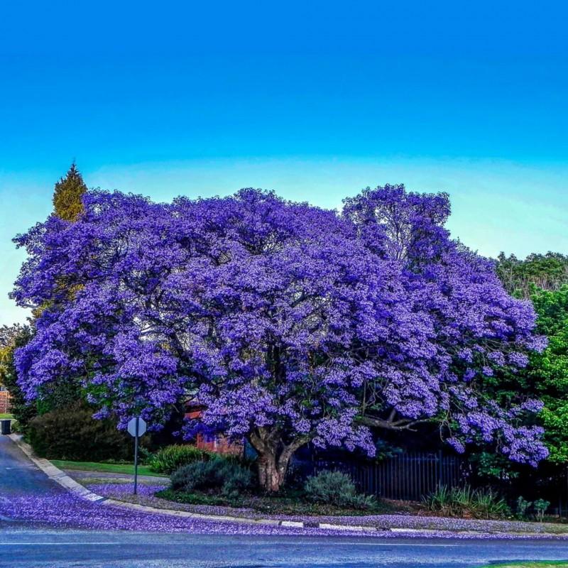 Blue Jacaranda Seeds 2.5 - 8