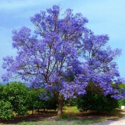Jacaranda Seme (Jacaranda mimosifolia) 2.5 - 1