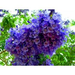 Blue Jacaranda Seeds 2.5 - 2
