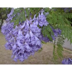 Жакаранда мимозолистная семена 2.5 - 3