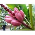 Semillas de Platanero Enano Rosa (Musa Ornata)